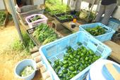 収穫された野菜たち